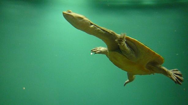Żółw rzeczny o długiej szyji.
