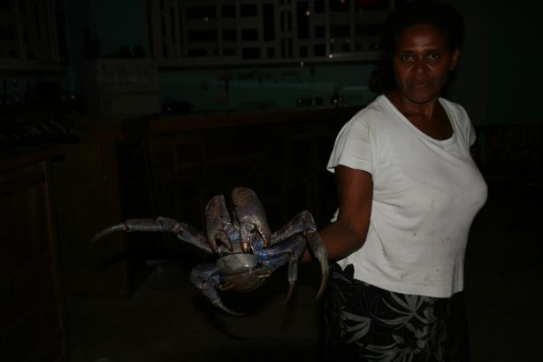 Niesamowity kokosowy krab. Wspina się na palmy odcina kokosy a potem schodzi i je rozcina!