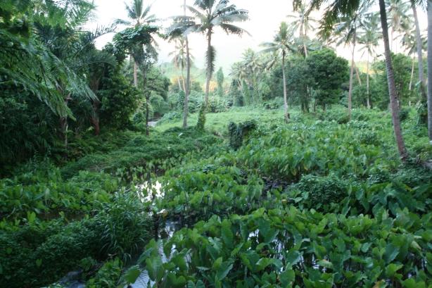 Water taro gardens czyli spichlerz wioski.