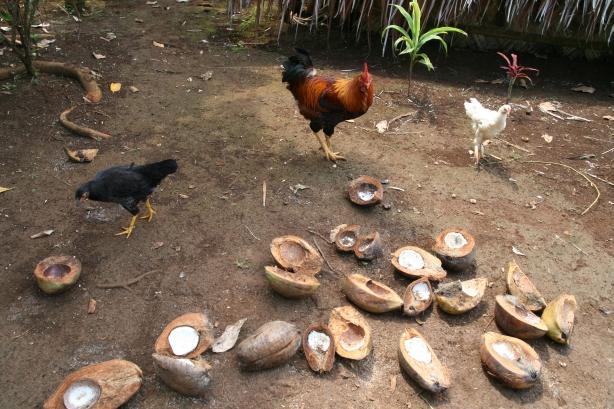 """Kury też """"jadą"""" na kokosie."""
