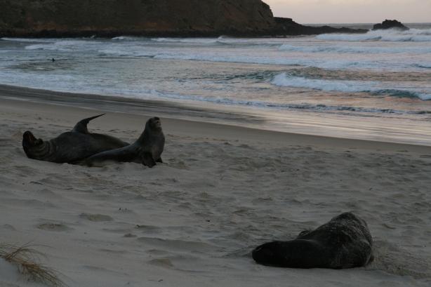 Lwy morskie na Sandfly Beach.