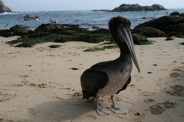 Pelikany tłumnie odwiedzają wybrzeże wioski licząc na darmowe ryby.