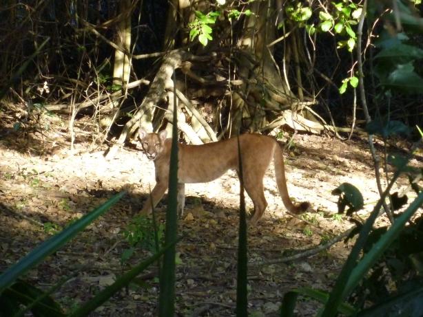 Puma - sześć metrów od nas!
