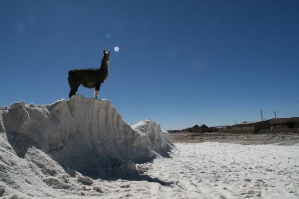 Lama na hałdzie soli.