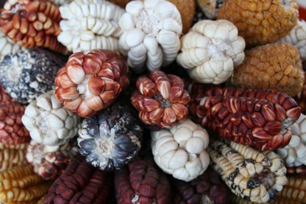 Różne odmiany choclo czyli kukurydzy.