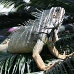 W mieście Guayaquil jest Parque de Simon Bolivar a w tym parku mieszkają dziesiątki iguan. W ciągu dnia chodzą po trawie a w nocy siedzą na gałęziach drzew a ich ogony zwisają niczym liany.