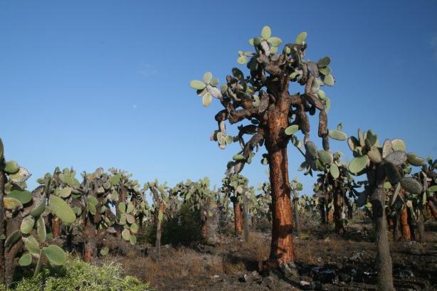 Kaktus żyrandolowy.