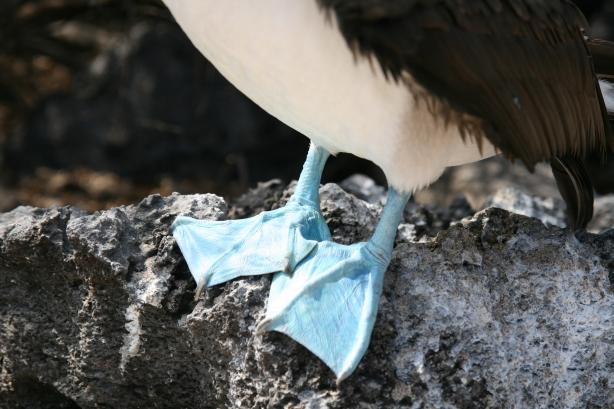 Booby, czyli głuptak niebieskonogi, Najsłynniejszy ptak Galapagos.