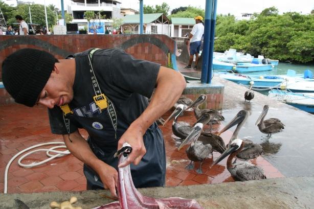 Targ rybny i jego najwierniejsi klienci - pelikany.