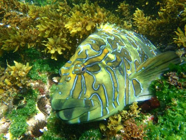 Hieroglyphic fish wypatrzona podczas nurkowania.