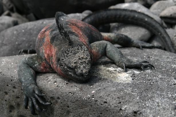 Morska iguana (legwan).