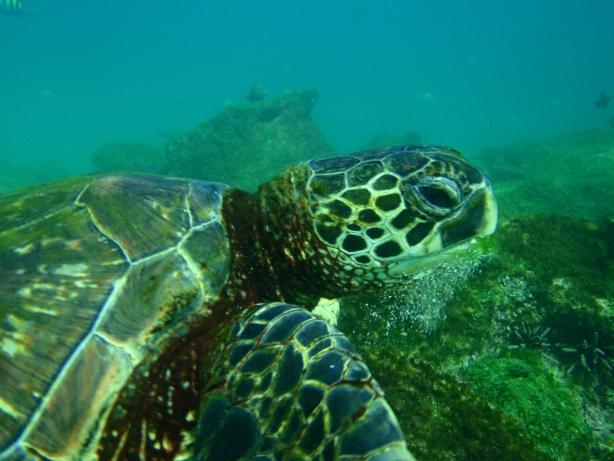 Żółw morski.