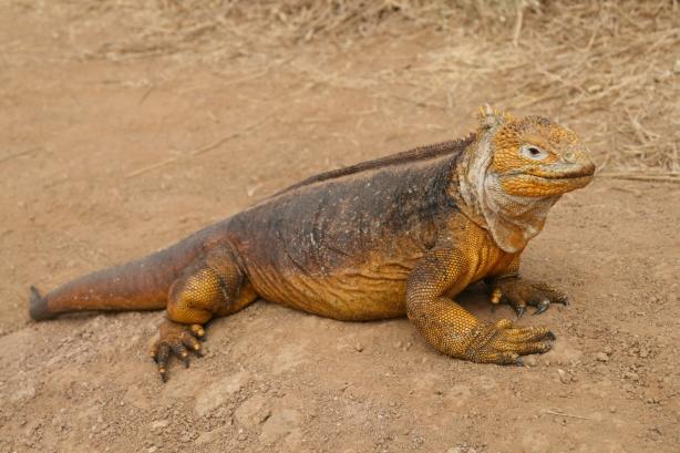 Iguana lądowa (legwan).