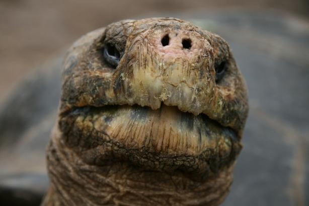 Ten żółw gigant ma około 130 lat, urodził się kilkanaście lat po Powstaniu Styczniowym.
