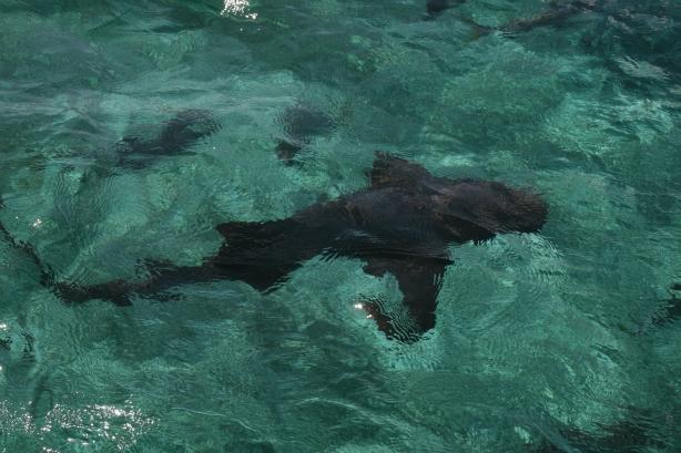 Rekin wąsaty wypatrzony podczas snorkellingu.